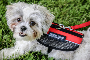 How To Get An Emotional Support Animal Service Dog And