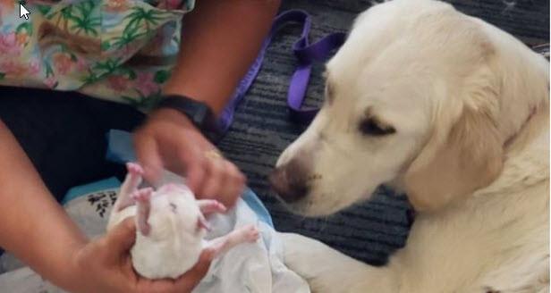 Usa Service Dog Has Pups At Airport Service Dog And