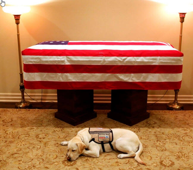 President George Bush Service Dog Sully Lies Loyally by His Casket